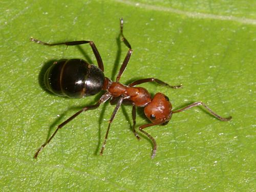 Chimerambiente disinfestazione formiche arezzo e toscana - Formiche in cucina ...